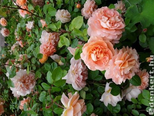 Barackszínű Rózsák