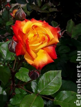 Egy rózsaszál