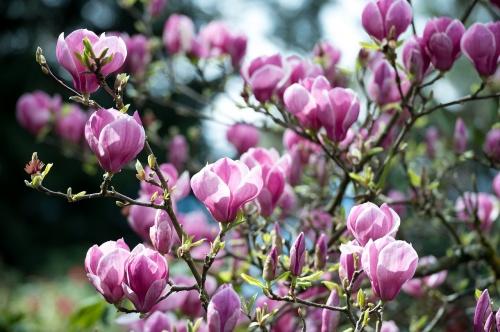 magnolia-2774579_1280