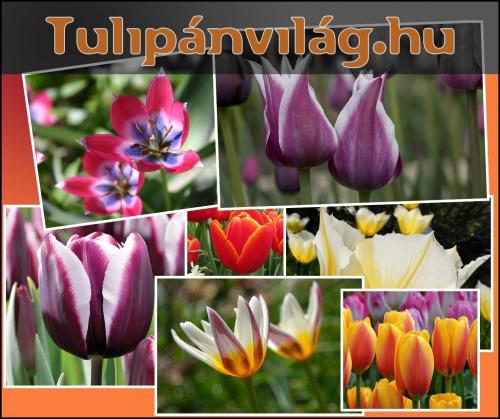 tulipanvilag-kep
