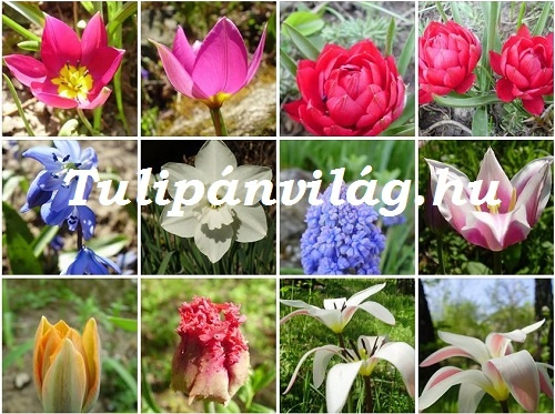 tulipanvilag3