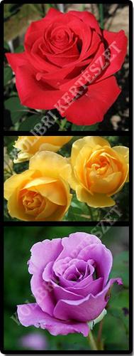 rozsa-kolibri